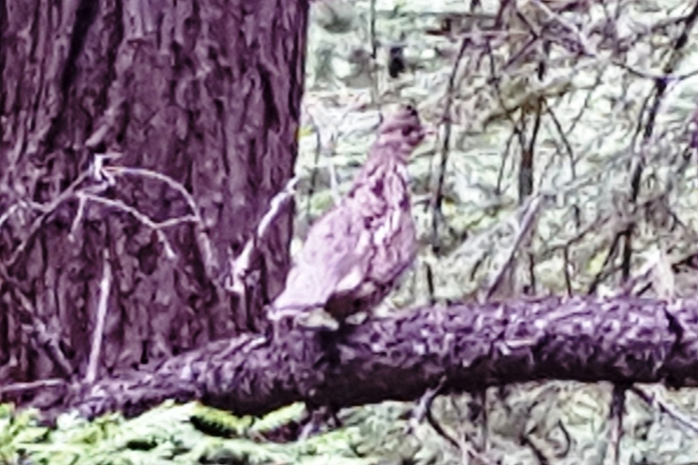 2016-04-25 - Mountain Grouse at SR2