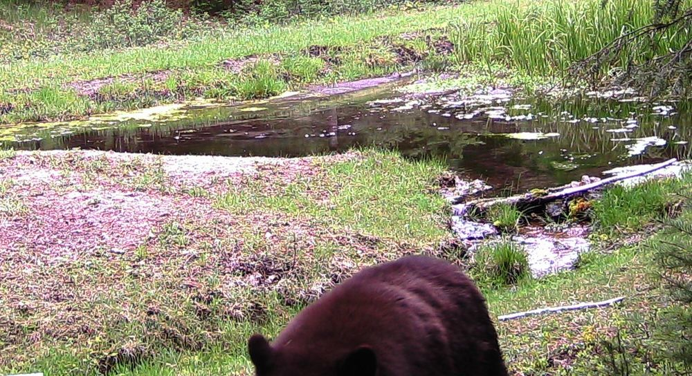 2016-05-05 - Black Bear at SR2 Pond