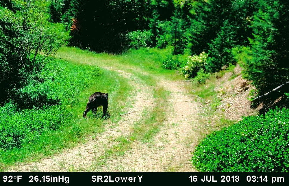 2018-07-16 Black Bear on Lower Y Road of SR2.JPG