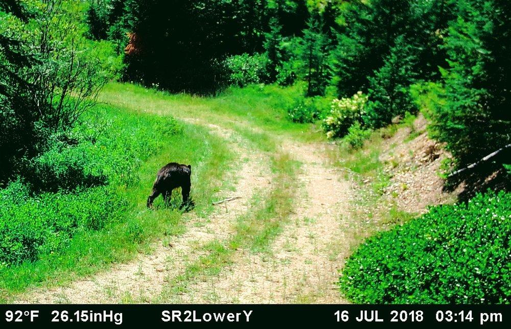 2018-07-16 Black Bear on Lower Y Road of SR2.JPG