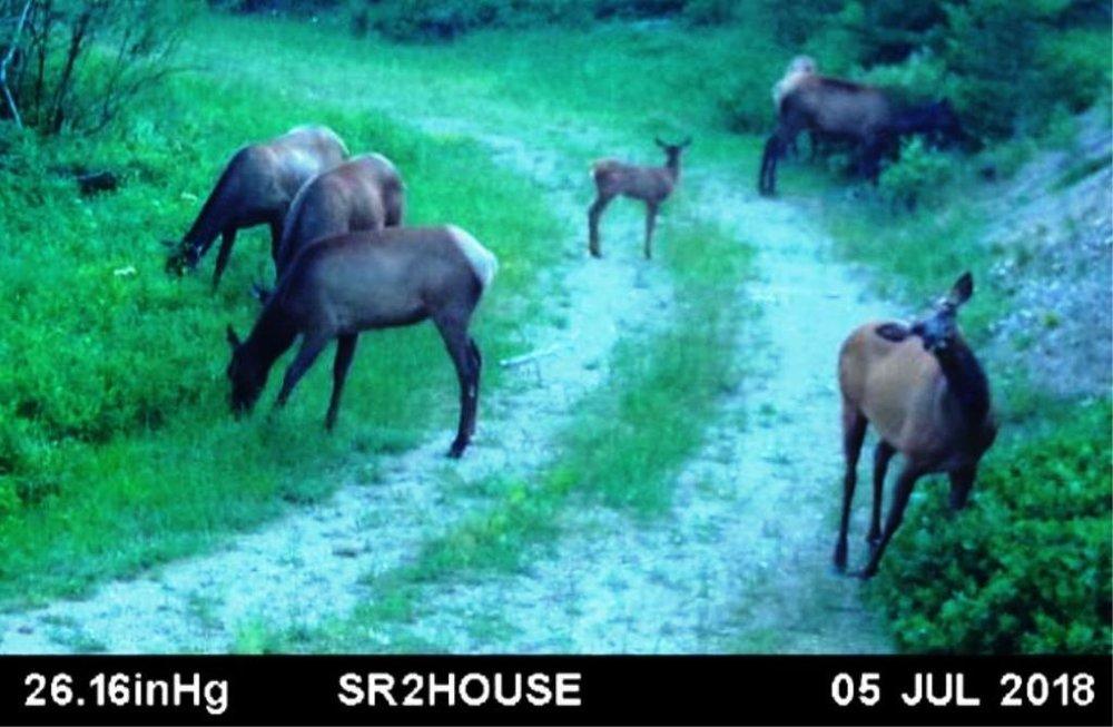 2018-07-05 Elk at the 160-40 Border on SR2.jpg