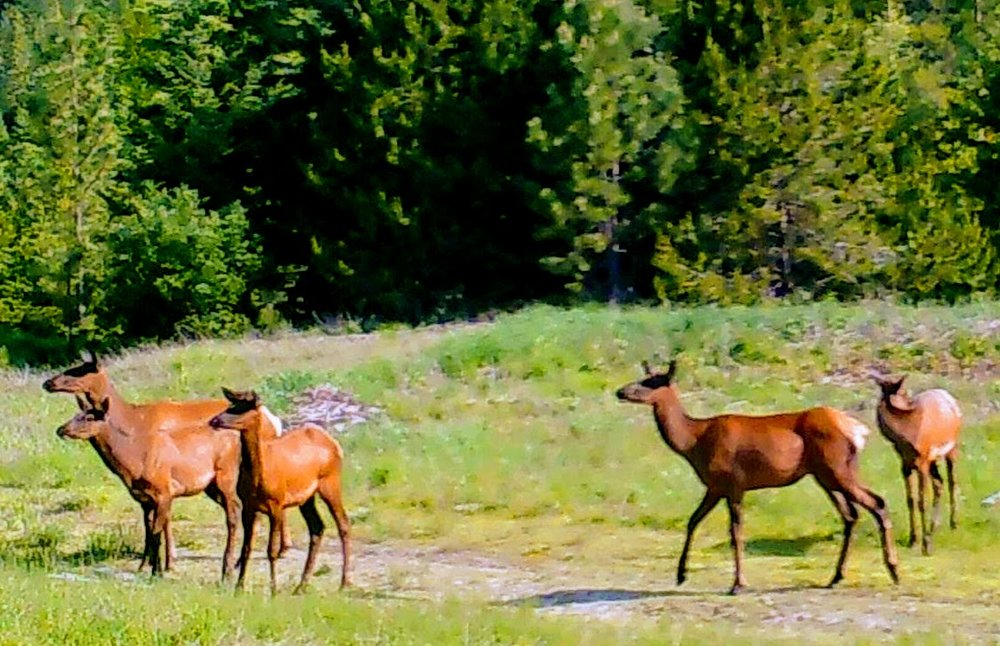 2018-07-01 Elk at the Lower Y of SR2.jpg