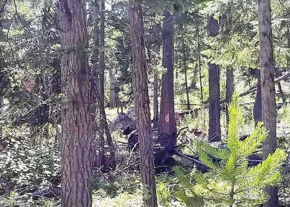 2018-07-05 Black Bear just west of Corona Road south of SR2.jpg