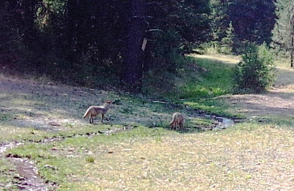 2018-09-07 Foxes at SR2.JPG