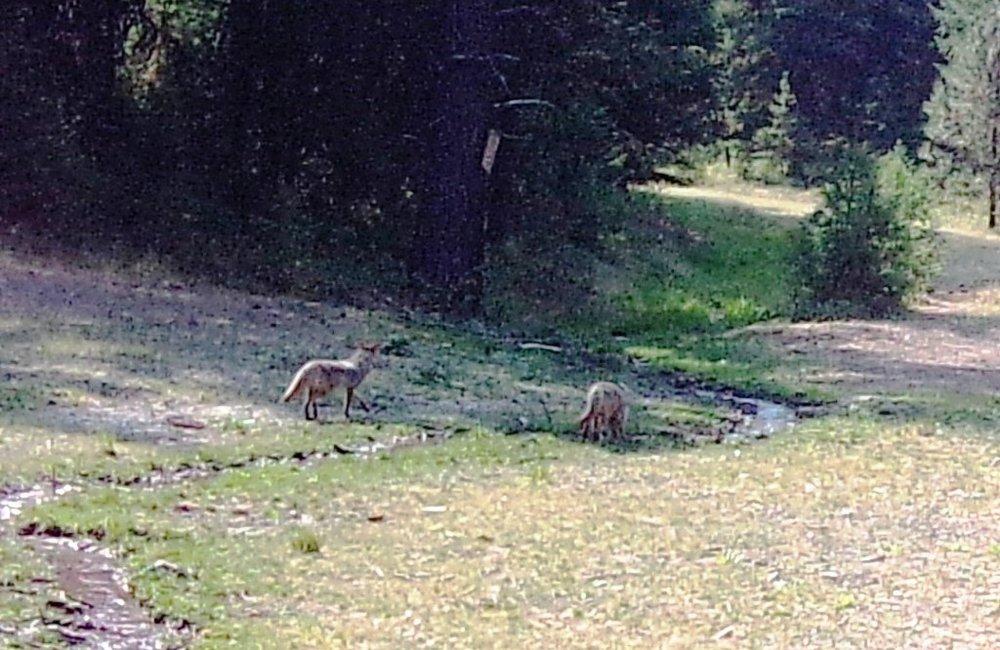 2018-09-07 Foxes at SR2.JPG