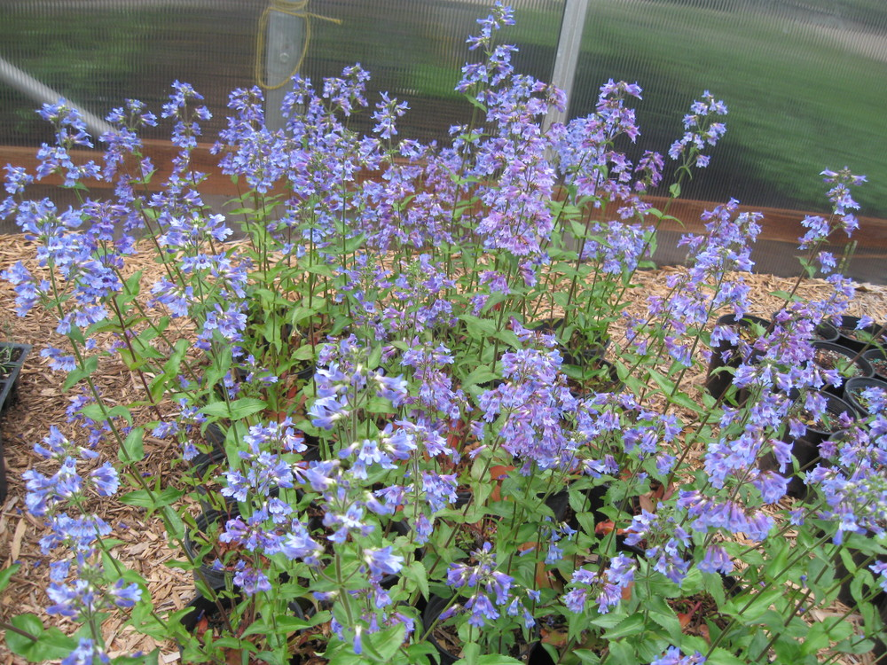 Native and ornamental perennial availability.    Native and ornamental grass availability.    Native and ornamental shrub availability.    Sage and rabbitbrush availability.