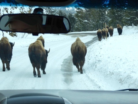 Bison in Yellowstone Park in winter
