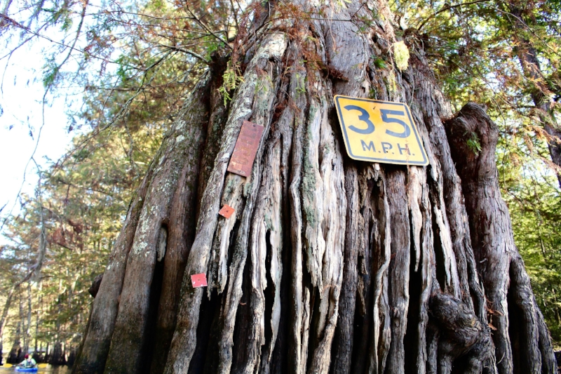An old cypress tree acts as a posting board in the swamp.