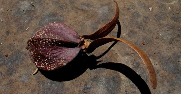 The Arkitrek logo is a seed from a rare tropical hardwood tree Dipterocarpus exalatus (local name Keruing rapak) photographed in Maliau Basin.