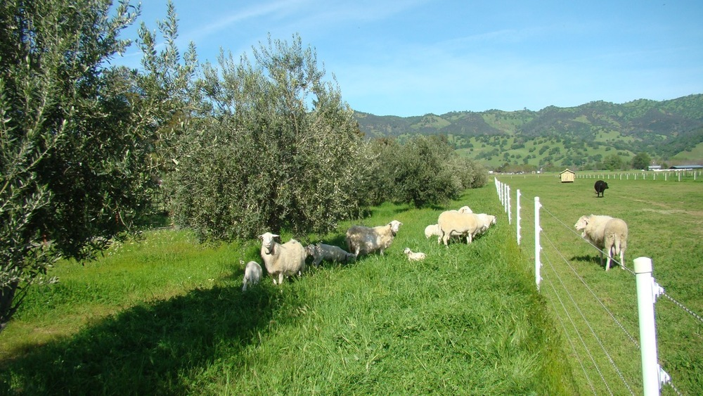 St. Croix sheep grazing the grove in Spring