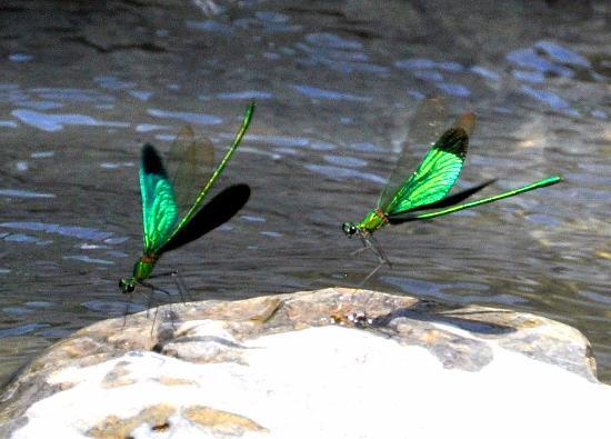 Beatifuel dragon fly.jpg