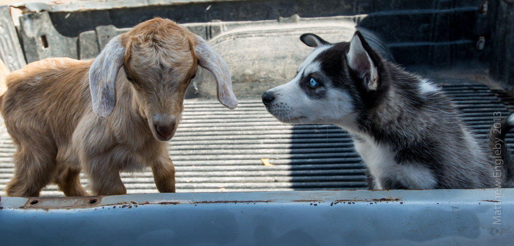 baby Luna / baby goat