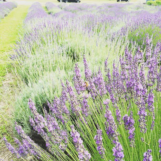 上田駅から少し足を伸ばすと見晴らしの良い信州音楽村があります。 この時期は一面のラベンダーで彩られています。 ラベンダー摘みも体験できます(有料)ラベンダー祭りの開催は来週末まで!  #Nagano #ueda  #lavender #bee #weekend #上田市 #信州音楽村 #HanalabUnno #Hanalab #flower #haveaniceday