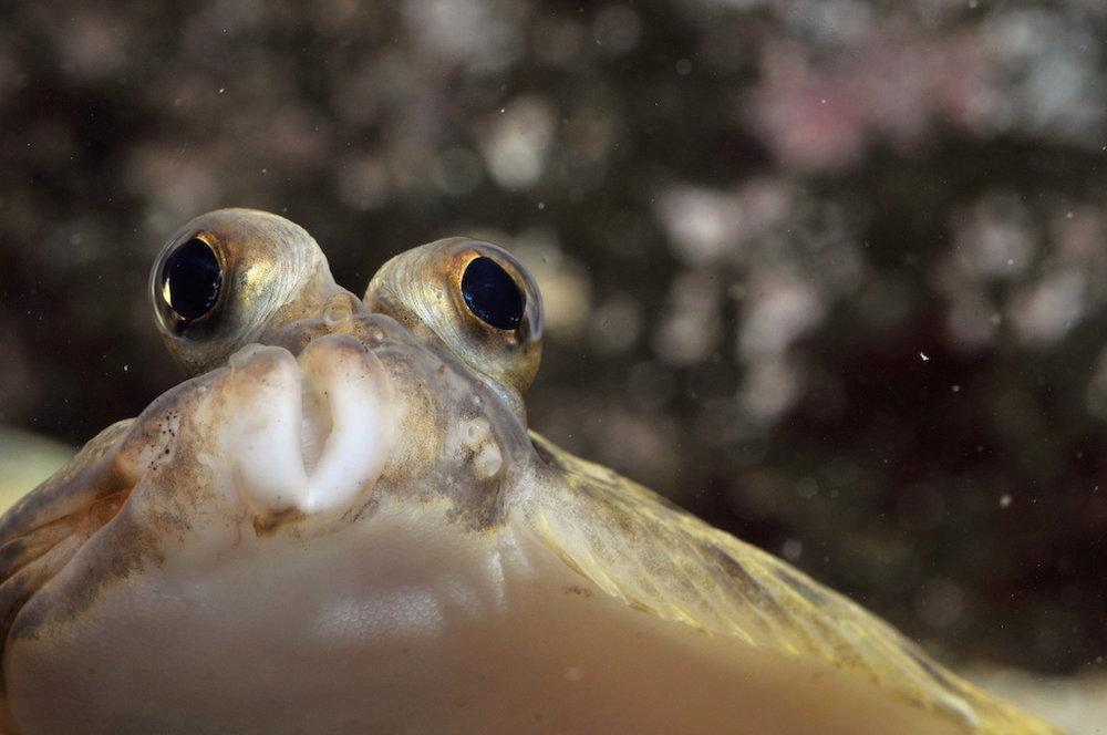 Tunga er høgravendur flatfiskur. Mynd: Hans Eli Sivertsen, Føroya Sjósavn