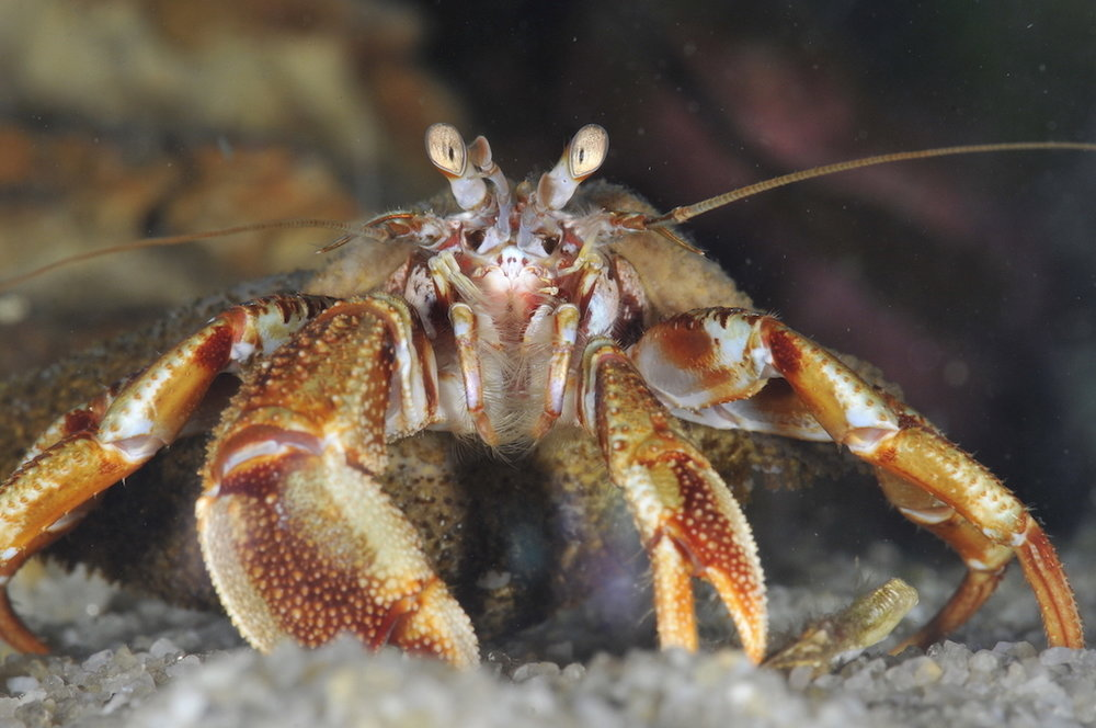 Fjørukrabbi er vanligasti krabbin í taraskóginum. Mynd: Hans Eli Sivertsen, Føroya Sjósavn