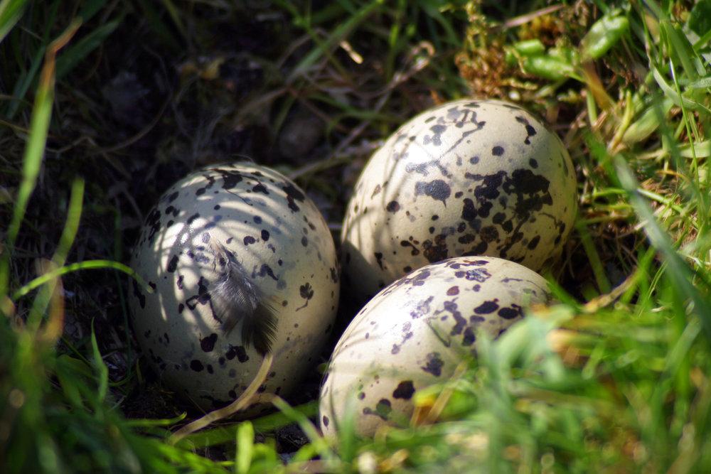 Tjaldur verpur millum 2 og 4 egg, sum eru ljós við dimmum blettum. Mynd: Ólavur Frederiksen