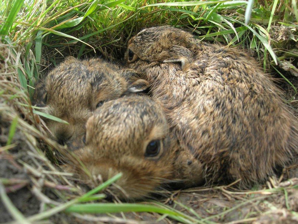 Haruungi sær beinan vegin, hann er lagdur, og rennur í kring longu fáar tímar eftur hann er lagdur.