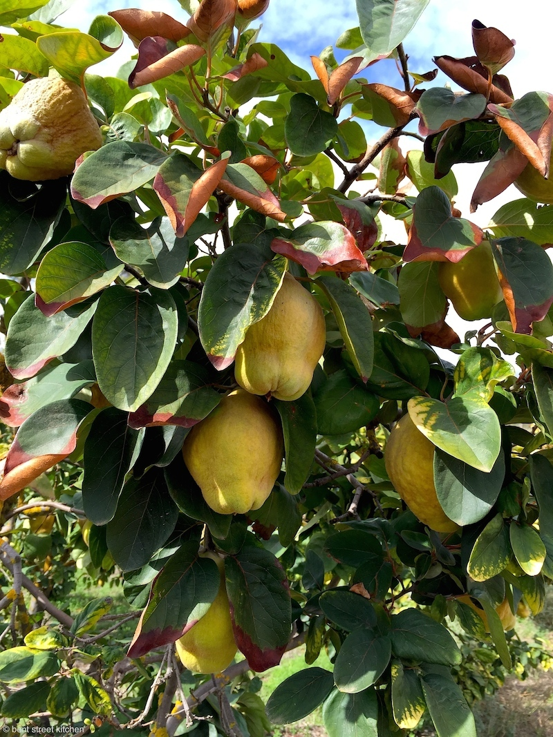 Quince tree at Maggie Beer's Farm Shop
