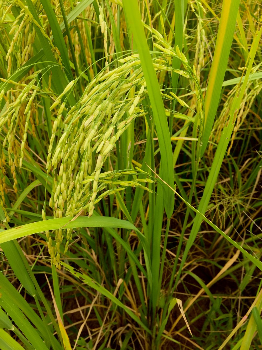 Battambang Rice