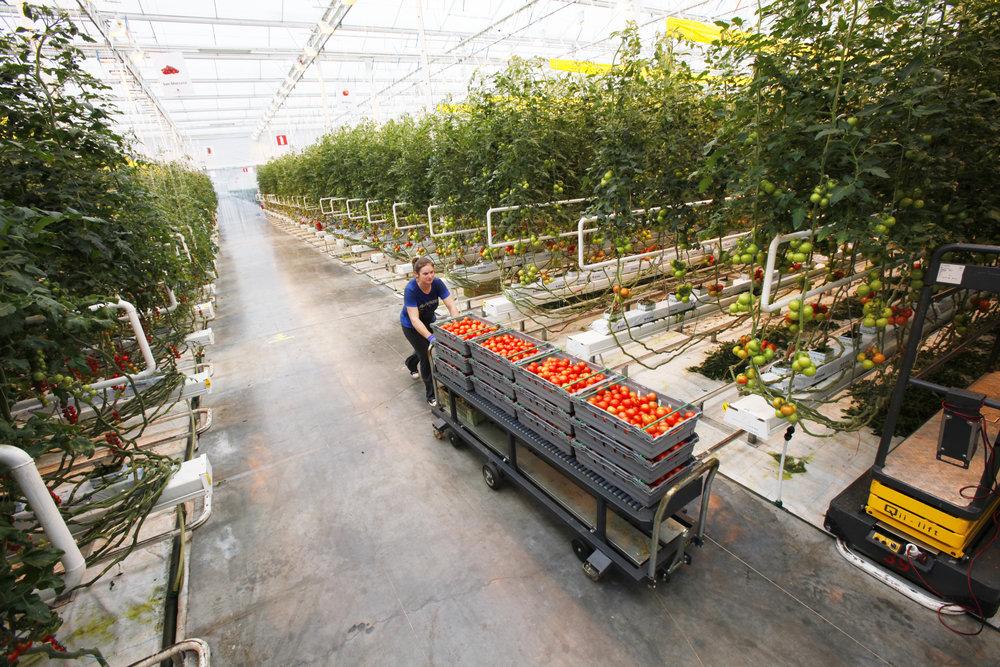 _MG_7325-BRA-tomater-växthus.jpg