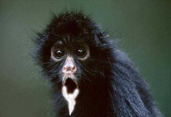 rabid-spider-monkey