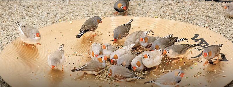 Zebra finches picking seeds and triggering a Zildjian cymbal.