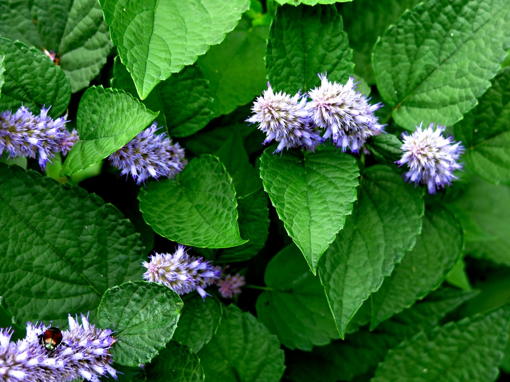 Hyssop in flower by AA Clayton