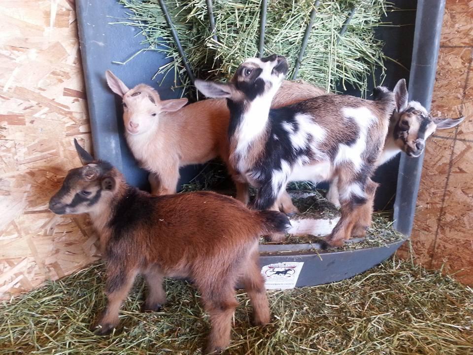 Basic Goat Care — Quaking Canopy Farm Nigerian Dwarf Dairy Goats