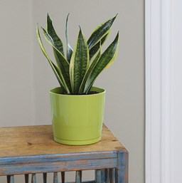 I personally love the snake plant which can be seen in numerous restaurants and co-working spaces. It's also known to be difficult to accidentally kill, making it an excellent choice.