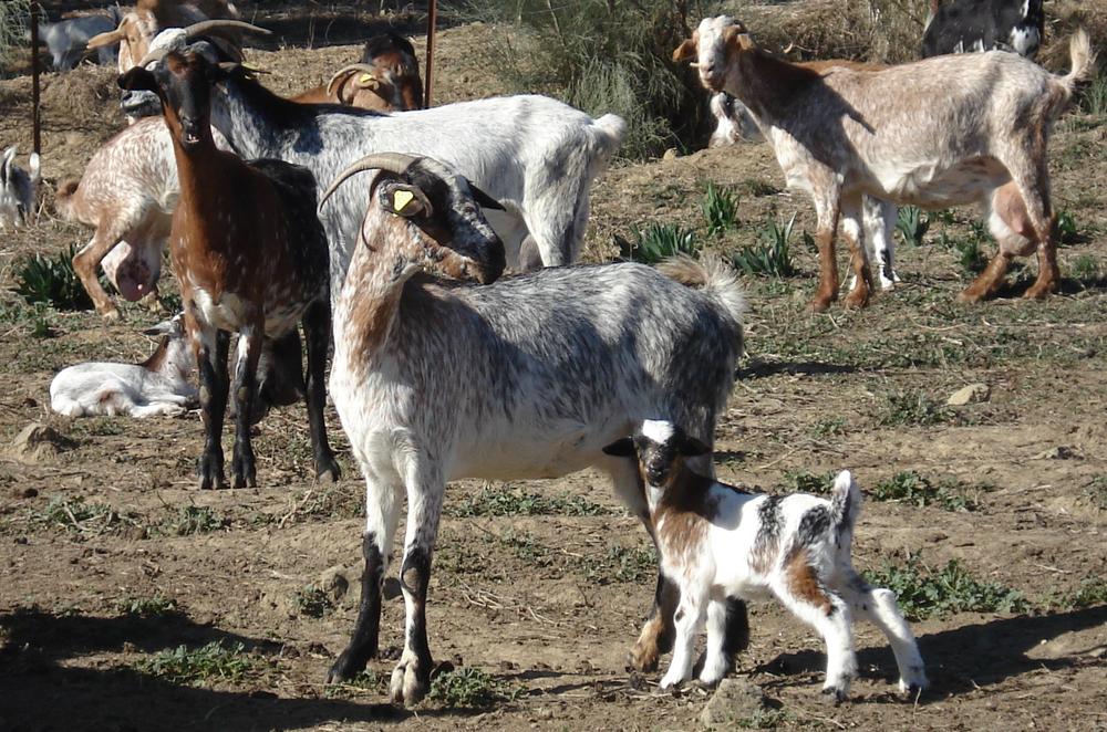 cabras-pastando.jpg