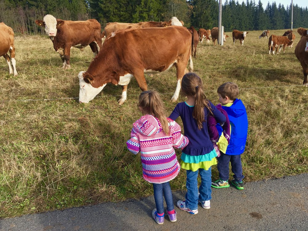 Kids trying not to get zapped as they feed a cow over an electric fence.