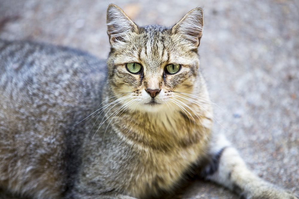 Pet Portrait, Andy the Mackerel Tabby Cat