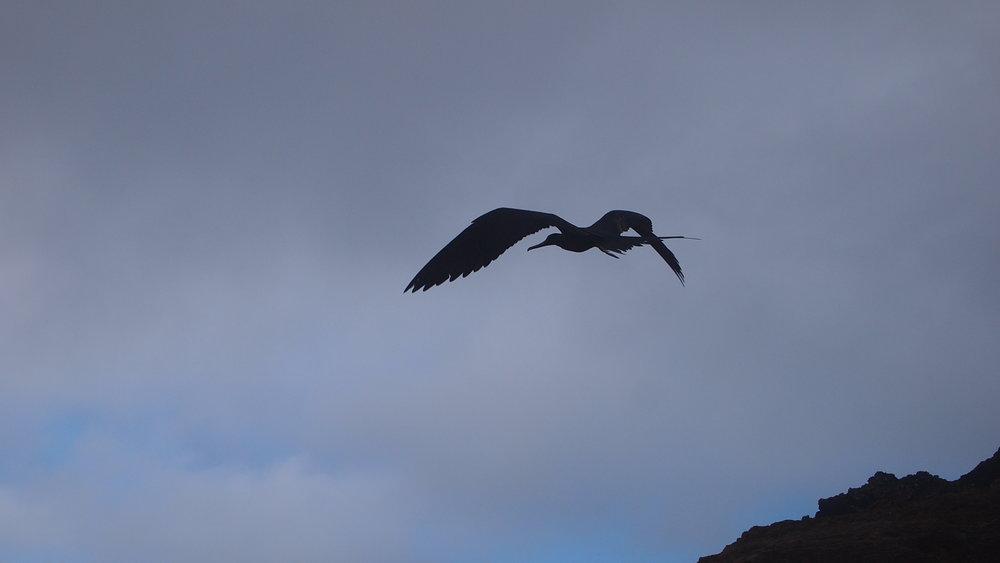 Pirates of the Sky ( Frigate bird, The Galapagos Islands )