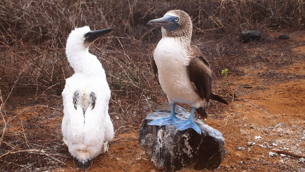 Blue Footed Booby chick and adult ( Punta Pitt, The Galapagos Islands )