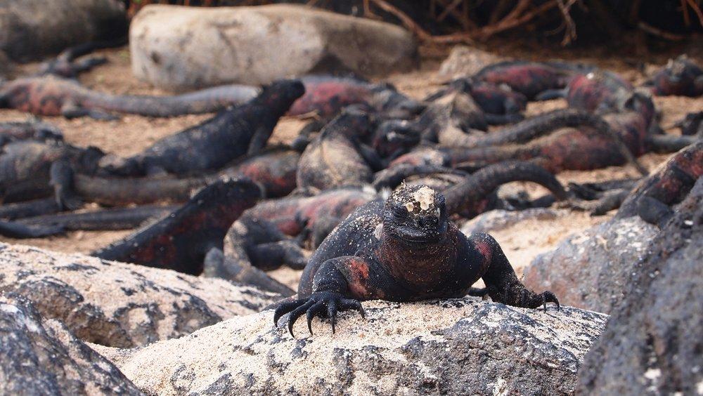 Galapagos Land Iguana ( Espnaola, The Galapagos Islands )