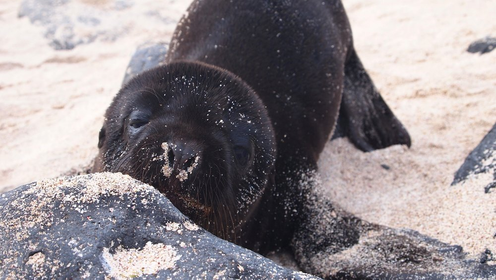 Show stopper ( Seal lion pup,   Espanola, The Galapagos Islands)