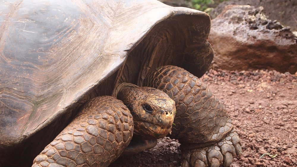 Galapagos Tortoise can weigh over 400kg. ( Reserva El Chato, Santa Cruz, The Galapagos)