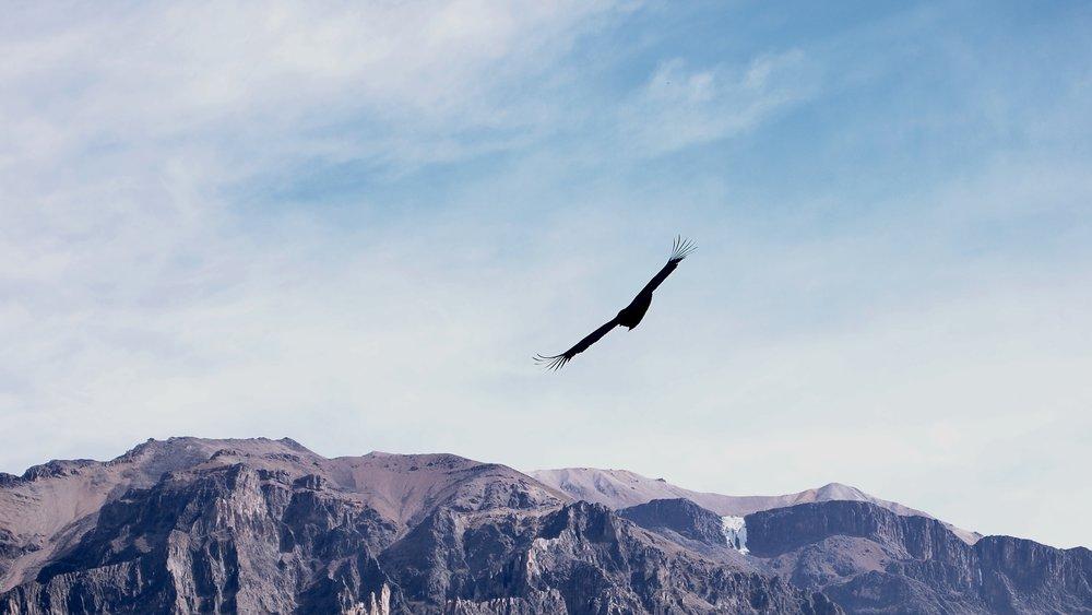 Andean Condor ( Mirador Cruz del Condor, Peru )