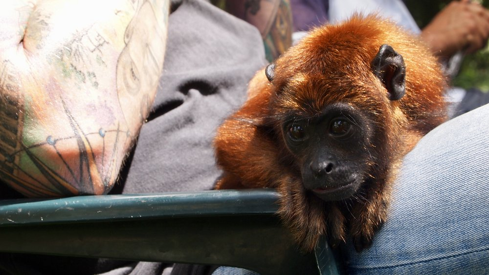 Lil mate  (Baby Howler Monkey, Serere Eco Lodge, Rurrenabaque, Bolivia )