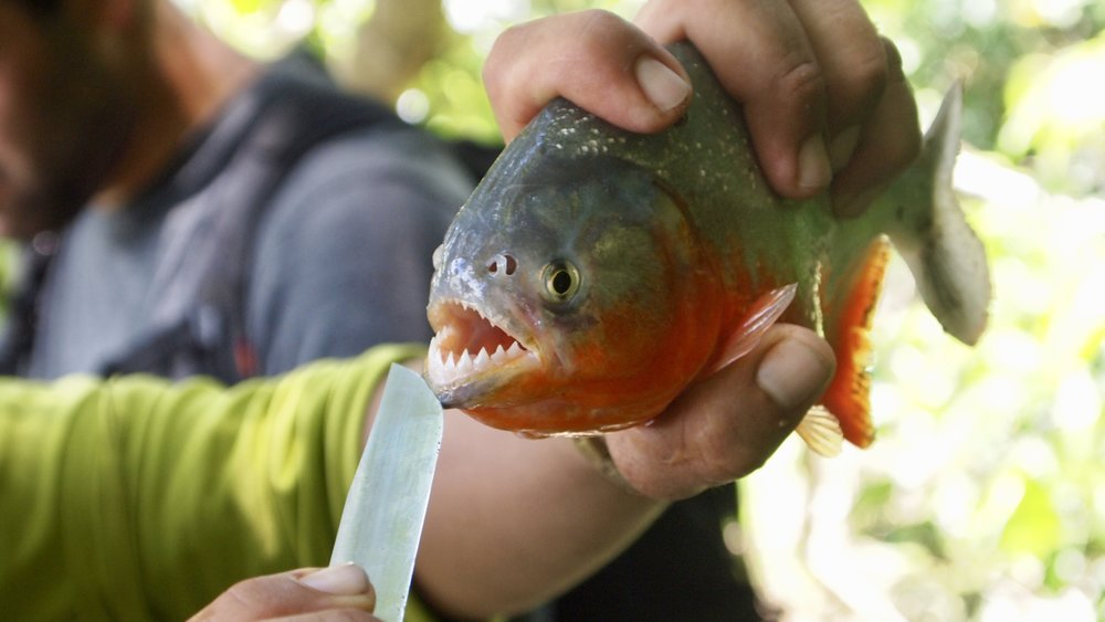 Piranha Fishing ( Serere Eco Lodge, Rurrenabaque, Bolivia )