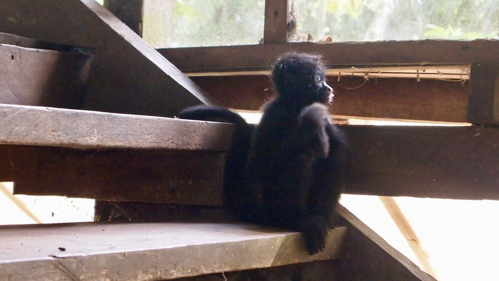 Lone Ranger ( Teenage Spider Monkey, Serere Eco Lodge, Rurrenabaque, Bolivia )