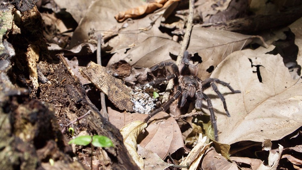 Spot the Tarantula ( Serere Eco Lodge, Rurrenabaque, Bolivia )