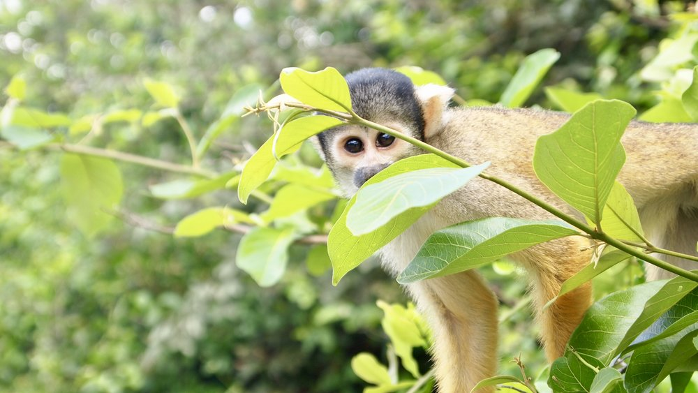 Squirrel Monkey Spying ( Rurrenabaque, Bolivia )