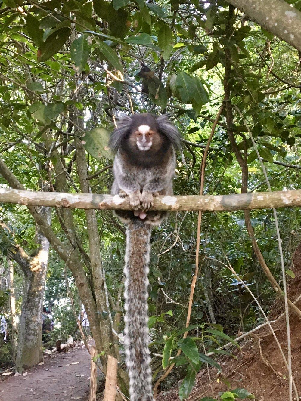 Watchu' looking' at? ( Marmoset Monkey - definitely male - Morro do Urca, Rio de Janeiro, Brazil )
