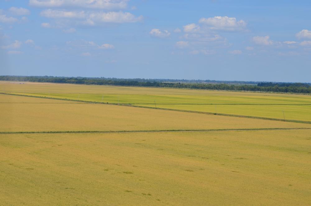 our farm full of zero grade rice fields