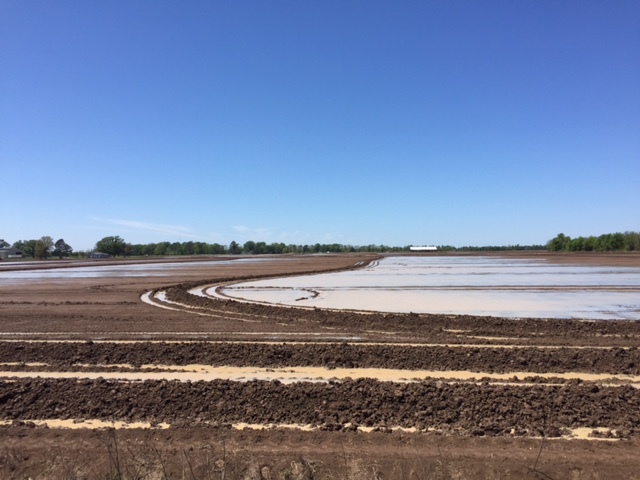 a recently planted rice field with contour levees to manage the required water levels for rice
