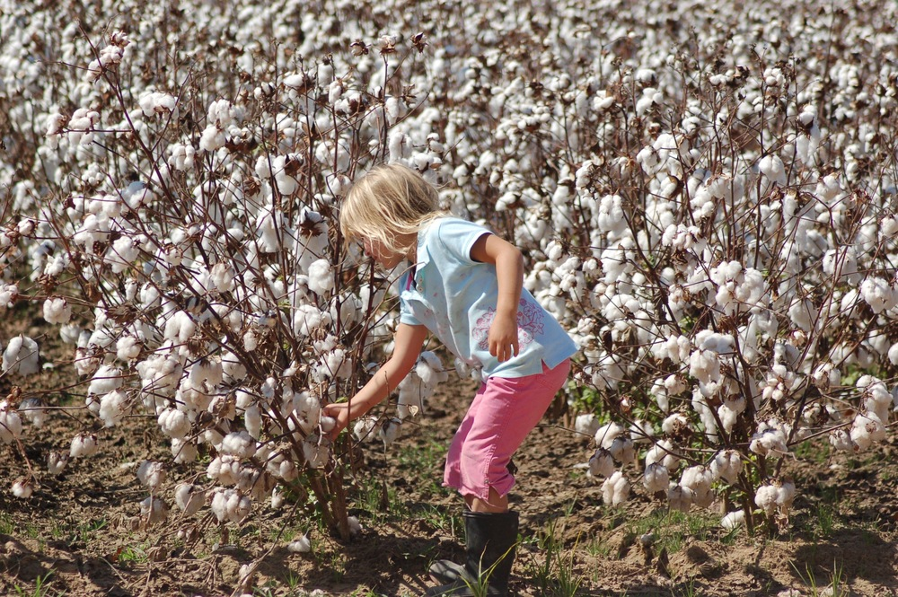 my daughter in a field of genetically modified cotton