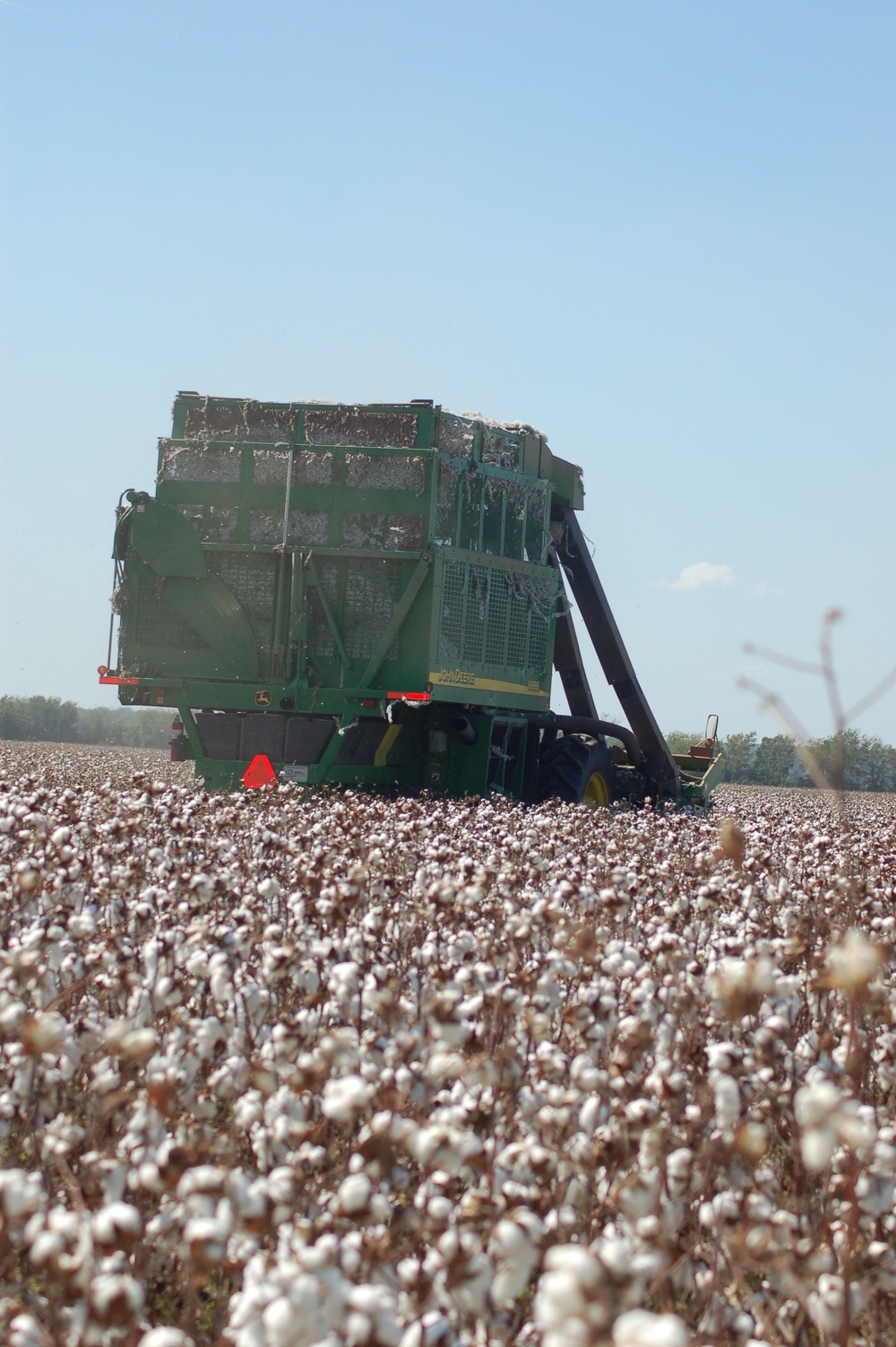 harvesting cotton