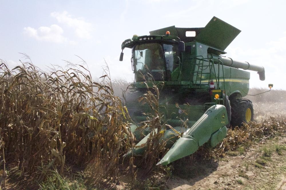 a combine harvesting corn