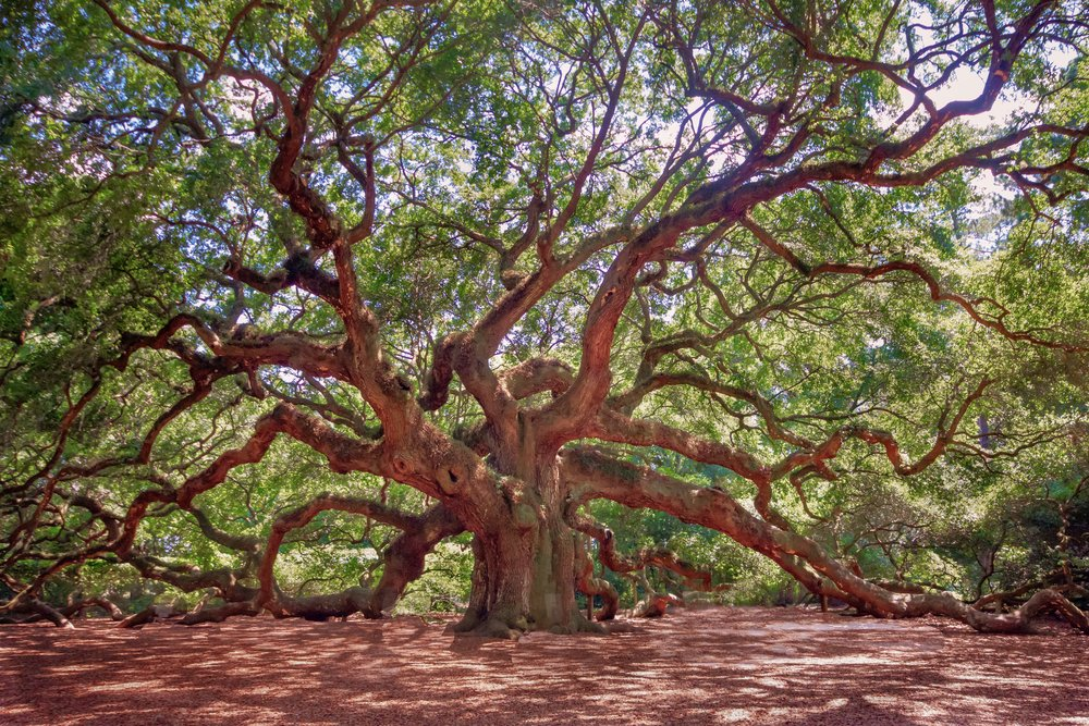 Angel Oak Tree (HDR)